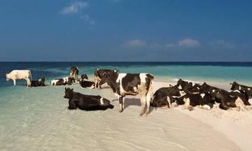 Σουηδία: Επιτράπηκαν οι... αγελάδες σε παραλίες γυμνιστών!