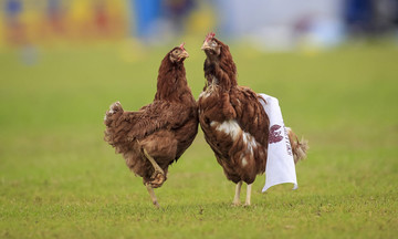 Κότες στο Ιωνικός-Προοδευτική (pic)