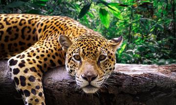 «Ντου» φιλόζωων στο Αττικό Πάρκο για τη θανάτωση τζάγκουαρ (vid)
