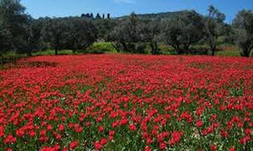 Λαλάδες: Το κόκκινο χαλί της Χίου (vid)