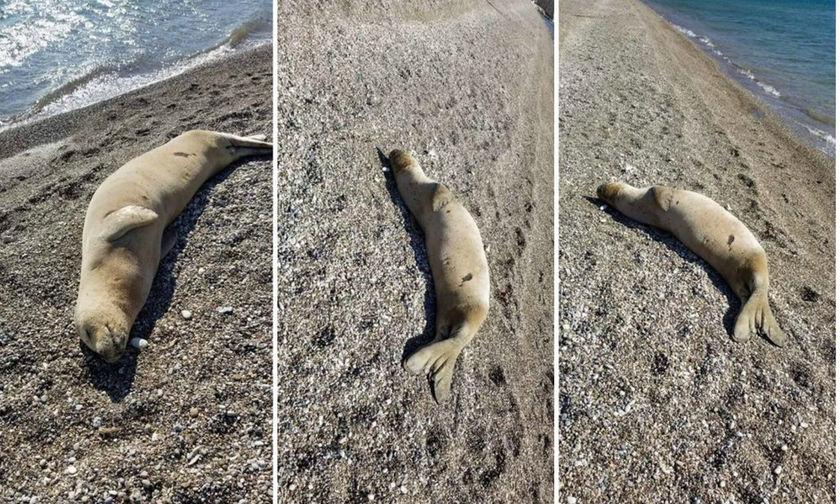 Φώκια «άραξε» στην παραλία «Κρυφή» στα Ίσθμια (Photo)