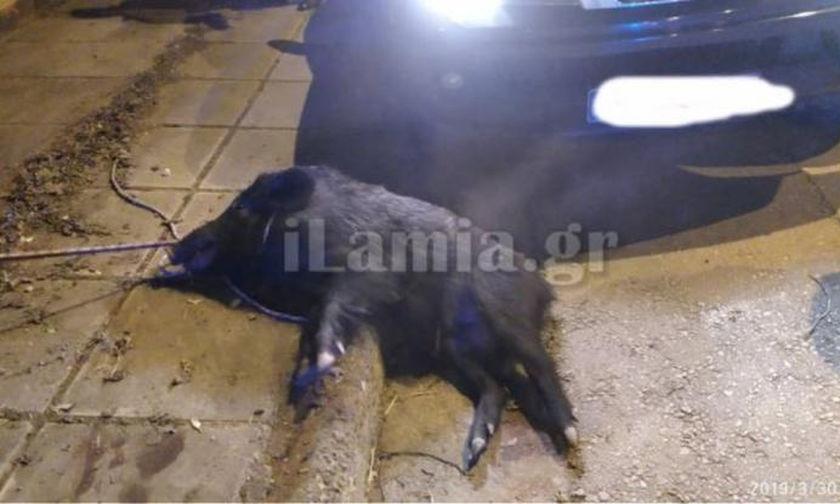 Αγριογούρουνο έκανε βόλτα μέσα στην Λαμία - Το τραυμάτισε αυτοκίνητο (pics)