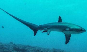 Ψάρεψαν καρχαρία τεσσάρων μέτρων και 100 κιλών στον Βόλο!