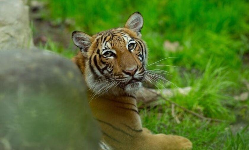 Παγκόσμια πρώτη: Θετική στον κορονοϊό τίγρη στη Νέα Υόρκη!