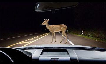Τι κάνουμε αν πεταχτεί ζώο στο δρόμο; (vid)