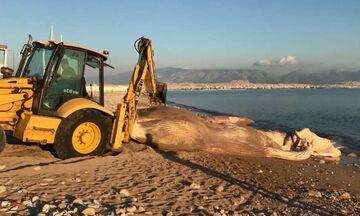 Ξεβράστηκε νεκρή φάλαινα στον Πειραιά (vid)