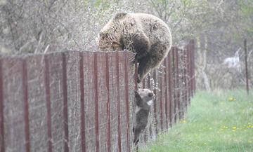 Καστοριά: Μαμά-αρκούδα και αρκουδάκι σκαρφαλώνουν φράχτη για να φάνε κεράσια