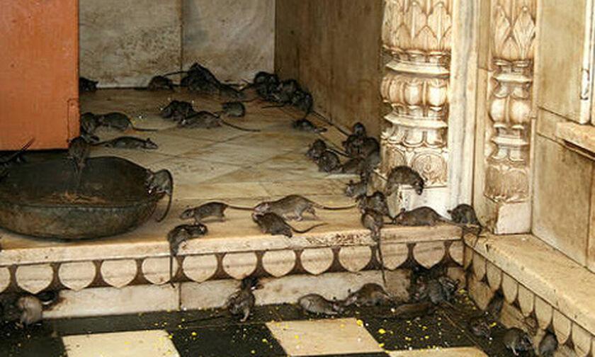 Ο παράξενος Ναός των Αρουραίων στην Ινδία!