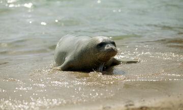 Αλόννησος: Νεκρή η φώκια-μασκότ του νησιού από ψαροντούφεκο