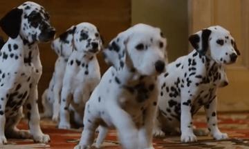 Το σκάνδαλο των «101 σκυλιών Δαλματίας»: Η κακοποίηση και η εγκατάλειψή τους μετά την ταινία